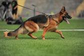 Running shepherd dog in stadium — Stock Photo