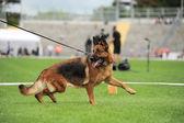 German shepherd dog running — Stock Photo