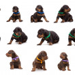 Set of doberman dog litter, puppies in coloured ribbons — Stock Photo