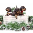Group of dobermann puppies in box on fur tree — Stock Photo #38439811