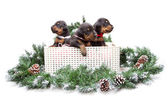 Group of dobermann puppies in box on fur tree — Stock Photo