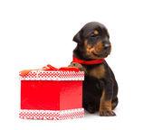 Doberman puppy near gift-box, studio shot on white background — Stock Photo