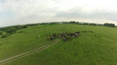 Horses graze in the meadow. Summer landscape. Air view — Stock Video