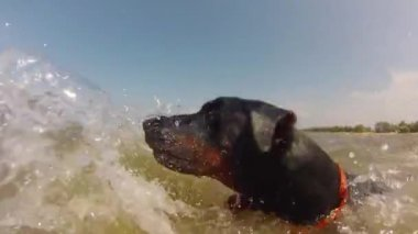 Dog swimming in the  sea — Stock Video