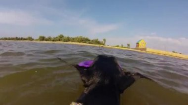 Dog  swimming with toy in the sea — Stock Video