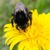 Bumble-bee — Stock Photo