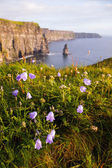 Cliffs of Moher with Wild flowers. — Stock Photo