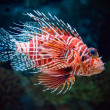 Lionfish - Stock Photo