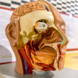Close up to face anatomy — Stockfoto