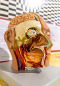 Close up to face anatomy — Stock Photo