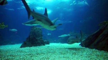 Grey Reef Shark — Stock Video