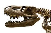 Dinosaur skeleton — Stock Photo
