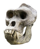 Gorilla skull — Stock Photo