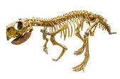 Psittacosaurus Skeleton — Stock Photo