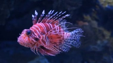 Lionfish — Stock Video