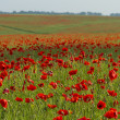 Poppy field — Stock Photo #21088961