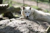 Полярный волк — Стоковое фото