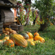 Pumpkin crop — Stockfoto