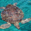 Stock Photo: Marine turtle