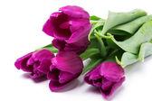 Fioletowe tulipany — Zdjęcie stockowe