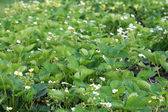 Strawberry plants in bloom — Foto Stock