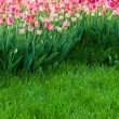 Blooming field of tulips — Stock Photo