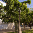 Tree Chorisia — Stock Photo
