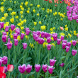 Tulips spring — Stock Photo