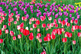 Tulips grow — Stock Photo