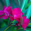 Oleander Flower — Stock Photo #19350419