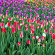 Tulips flower spring — Stock Photo