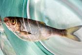 Fish dead — Stock Photo