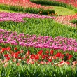 Panorama tulips purple and red — Stock Photo #22805312