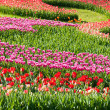 Panorama tulips purple and red — Stock Photo