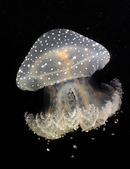 Jelly fish — Stock Photo