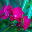 Oleander Flower — Stock Photo #25784217