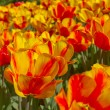 Yellow red spring flower - Stock Photo