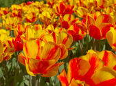 Yellow red spring flower — Stock Photo