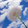 Dandelion seeds — Stock Photo #26321389
