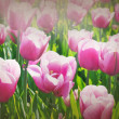 Rose tulips — Stock Photo