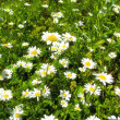 Daisywheels flowerses background — Stock Photo