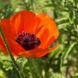 Poppy flowerses background — Stock Photo
