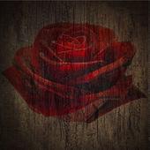 темно-красные розы — Стоковое фото