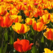 tulips field — Stock Photo