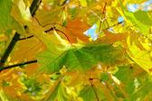 Leaf autumn yellow green — Stock Photo