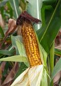 Corn vegetable — Stock Photo