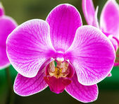 Flower orchid pink — Stock Photo