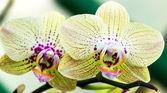 Orchid vanilla blossom — Stockfoto