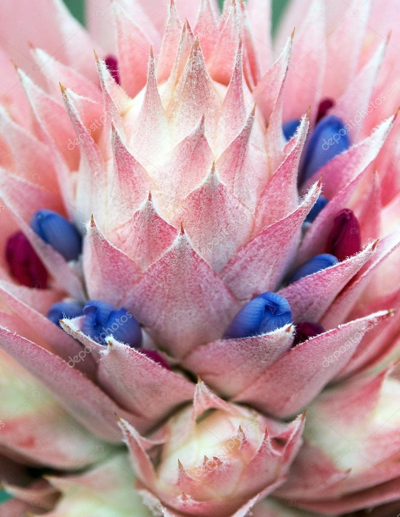 фото цветок эхмея: