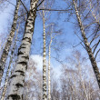 Forest birch — Stock Photo #29195525